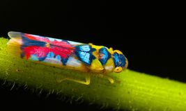 leafhopper Fotografía de archivo