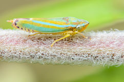 Leafhopper do rododendro Foto de Stock Royalty Free