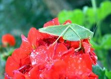 Leafhopper on geranium Stock Images