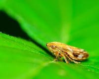 Leafhopper Royalty Free Stock Image