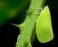 Leafhopper Stock Images
