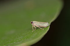 Leafhopper na folha Imagem de Stock Royalty Free