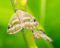 Leafhopper Royalty Free Stock Photography