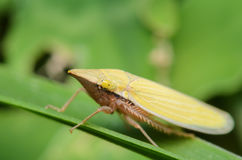 Leafhopper pequeno Fotos de Stock Royalty Free