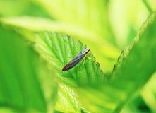 Leafhopper Striped конфетой Стоковые Изображения