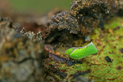 Leafhopper on tree bark. Leafhopper is staying under the opened tree bark Stock Photos
