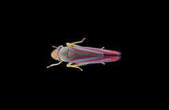 Leafhopper Vermelho-Unido fotos de stock