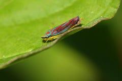 Leafhopper Vermelho-unido Fotografia de Stock Royalty Free