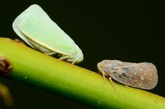 Leafhoppers Stock Photos
