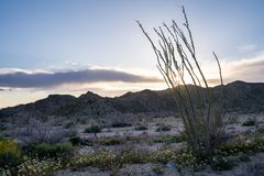 Leafing Ocotillo plant cactus in Joshua Tree National Park, at the Ocotillo Patch site, during sunset. Wildflowers around the. Plant, during the superbloom stock photo