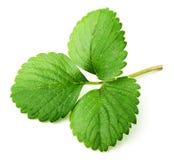 leafjordgubbe Royaltyfria Bilder