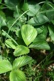 leafjordgubbe royaltyfria foton