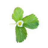 leafjordgubbe Arkivfoto