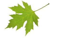 leaflönn Arkivfoto