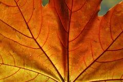leaflönn Fotografering för Bildbyråer