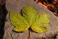 leaflönn Royaltyfri Fotografi