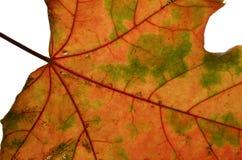 leaflönn Arkivbild