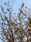 leaflönn kärnar ur Royaltyfria Bilder