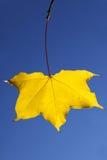 leaflönnyellow Fotografering för Bildbyråer