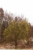 Leafless apple tree Stock Photos