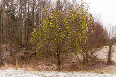Leafless apple tree. In winter royalty free stock photos