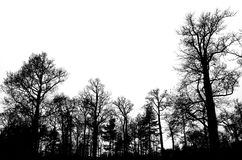 Leafless bare trees isolated on white sky Stock Image