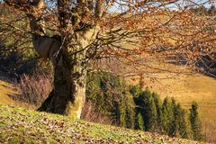 Leafless beech tree on hill. Brown foliage on the ground. sad autumn scenery on a sunny day royalty free stock image