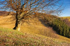 Leafless beech tree on hill. Brown foliage on the ground. sad autumn scenery on a sunny day stock photo