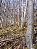 Leafless beech wood in the spring Royalty Free Stock Photography