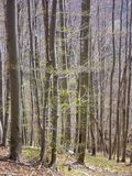 Leafless beech wood in the spring Stock Photos