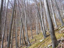 Leafless beech wood in the spring Royalty Free Stock Photo