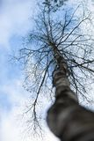 Leafless birch. On the background sky stock photography