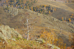Leafless birch at edge of cliff Stock Images