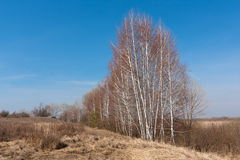 Leafless birches in steppe Stock Images