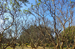 Leafless Bomen royalty-vrije stock foto's