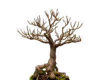 Leafless bonsai plant Stock Images