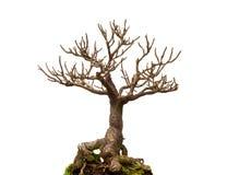 Leafless bonsai plant. Isolated on white background stock images