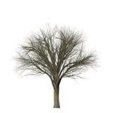 Leafless boom die op wit wordt geïsoleerd Stock Foto's