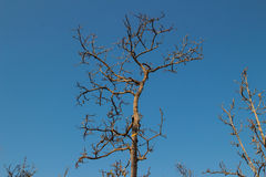Leafless boom op achtergrond Stock Afbeelding