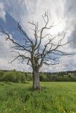 Leafless boom op bloeiende weide Royalty-vrije Stock Foto's
