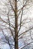 Leafless Boomtakken tegen Donkere Hemelachtergrond Stock Foto