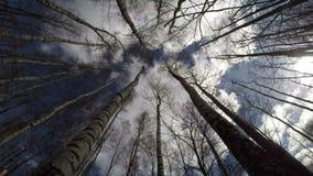 Leafless bos van de berkboom in de lente en mooie wolkenmotie stock video