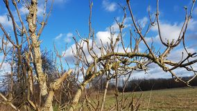 The leafless boughs of an elder bush on a sunny winter day Royalty Free Stock Photography