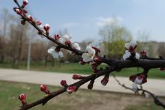 Leafless branch of apricot with white flowers. Leafless branch of apricot tree with white flowers royalty free stock photos