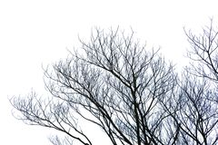 Leafless branch or dead tree isolated on white background with clipping path. Graphic resources. Leafless branch or dead tree isolated on white background with Stock Photos