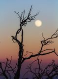 Leafless branch at sunset Royalty Free Stock Photography