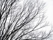 Leafless branches and twigs of sakura tree.  on whiteout sky stock images