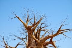 Leafless branches of baobab tree. At dry season, on a background of clear blue sky stock image