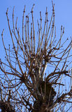 Leafless branches of chestnut Stock Image