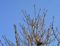 Leafless branches of chestnut Stock Photos